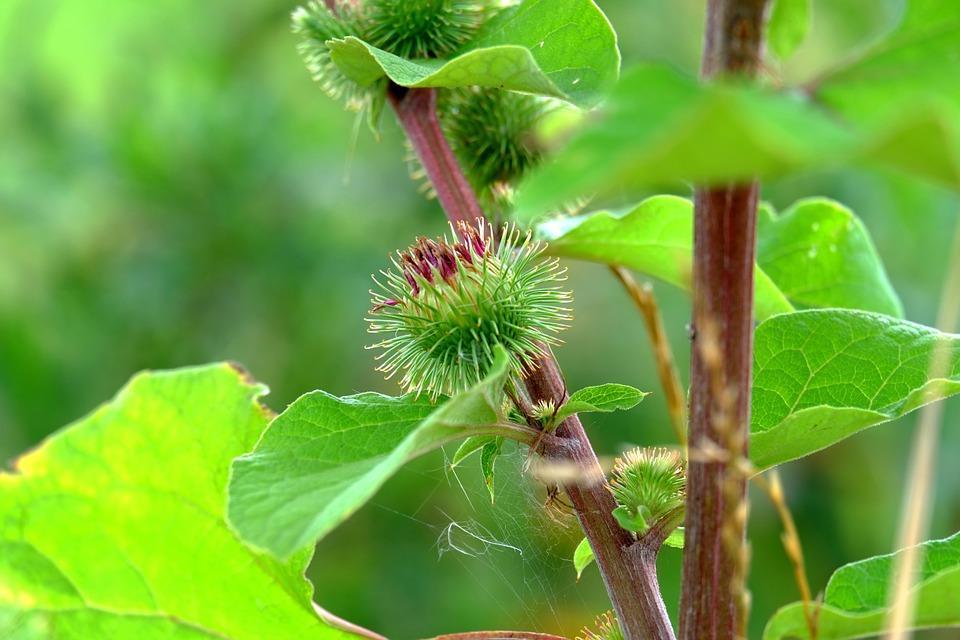 zelený bodlák